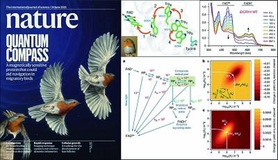 揭示迁徙鸟类对地磁场感知的量子生物学原理